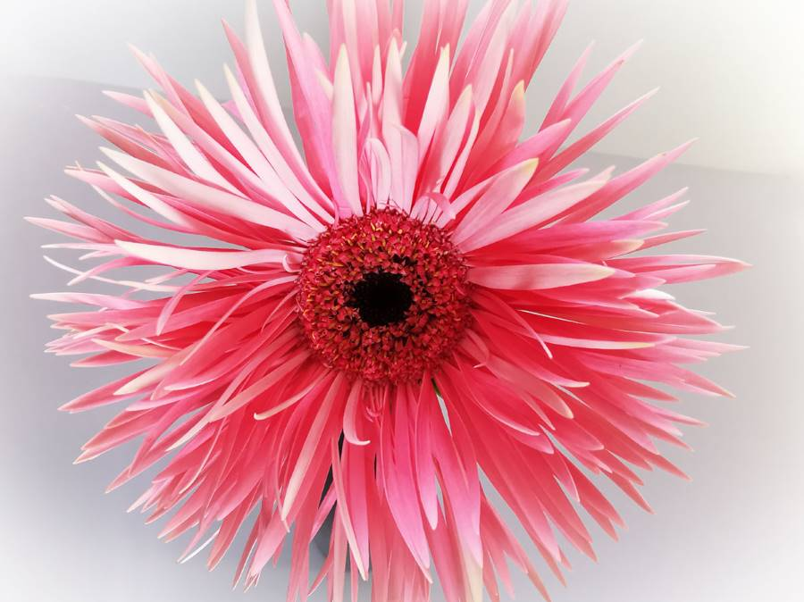 rosa Gerberablüte, Spidergerbera