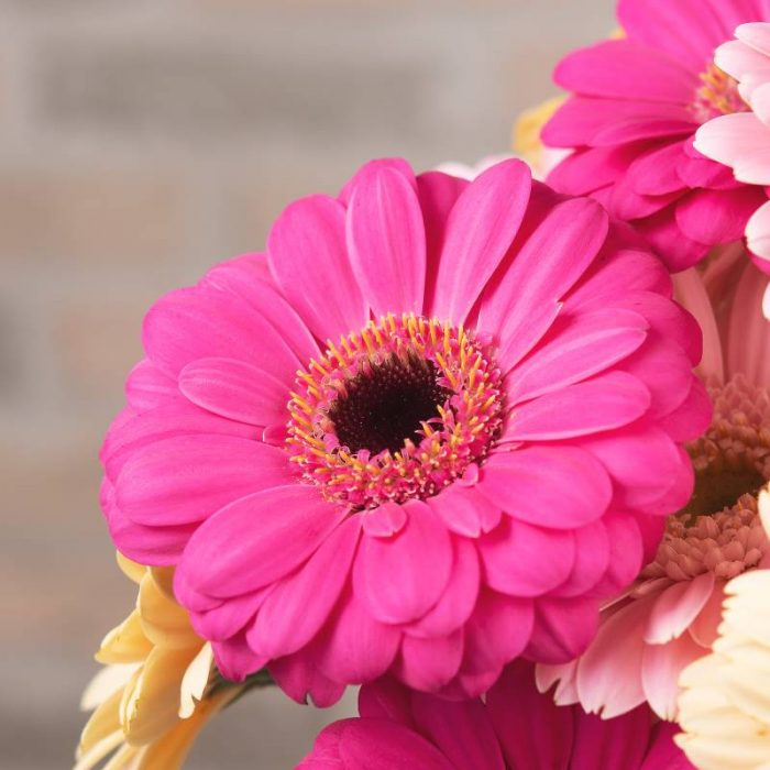 Germini, Blüte der kleinen Gerbera in Pink, Blumenversand und Blumenlieferung